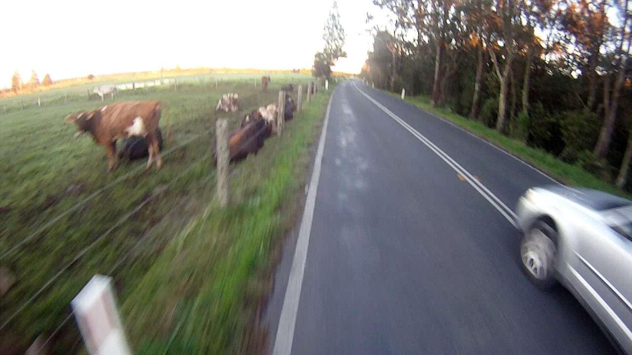 Cows n cars