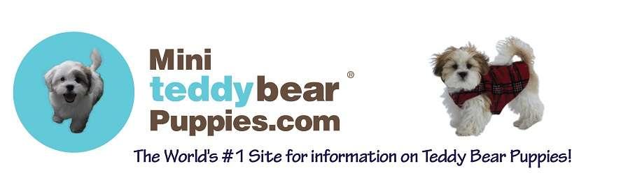Mini Teddy Bear Puppies